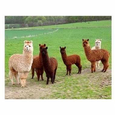 Hobby dieren magneet d alpacas